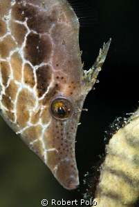 Slender filefish. Bonaire. D200 , 105mm by Robert Polo 